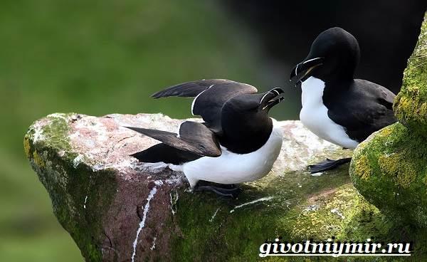 Гагарка-птица-Образ-жизни-и-среда-обитания-гагарки-8