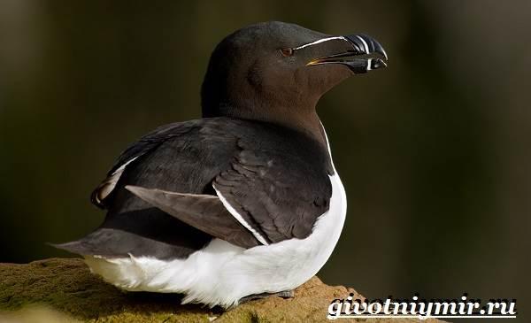 Гагарка-птица-Образ-жизни-и-среда-обитания-гагарки-9