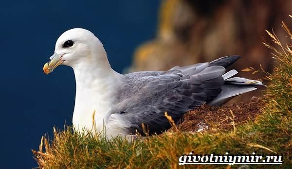 Глупыш-птица-Образ-жизни-и-среда-обитания-птицы-глупыш-1