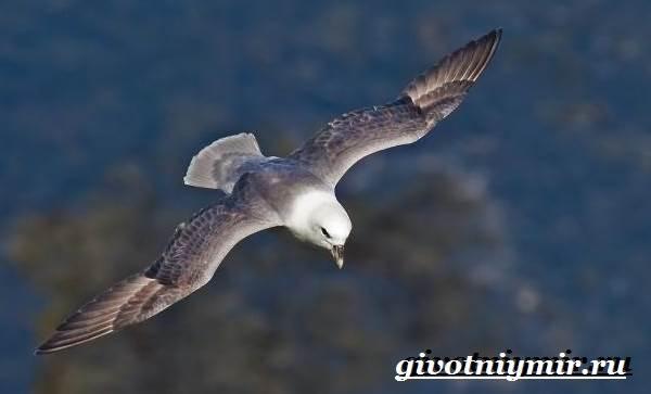 Глупыш-птица-Образ-жизни-и-среда-обитания-птицы-глупыш-2