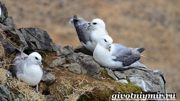 Глупыш-птица-Образ-жизни-и-среда-обитания-птицы-глупыш-3