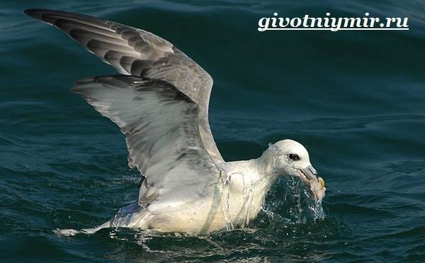 Глупыш-птица-Образ-жизни-и-среда-обитания-птицы-глупыш-4