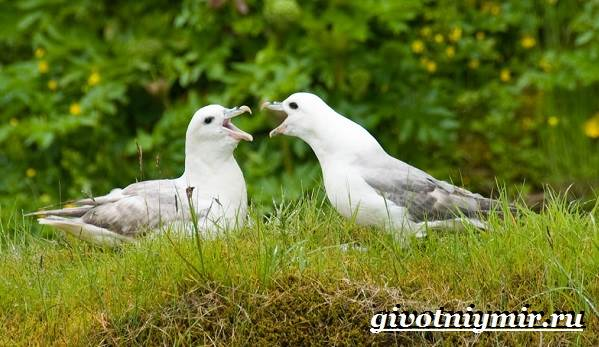 Глупыш-птица-Образ-жизни-и-среда-обитания-птицы-глупыш-6