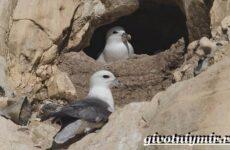 Глупыш птица. Образ жизни и среда обитания птицы глупыш