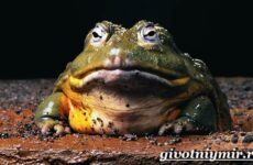 Голиаф лягушка. Образ жизни и среда обитания лягушки голиаф