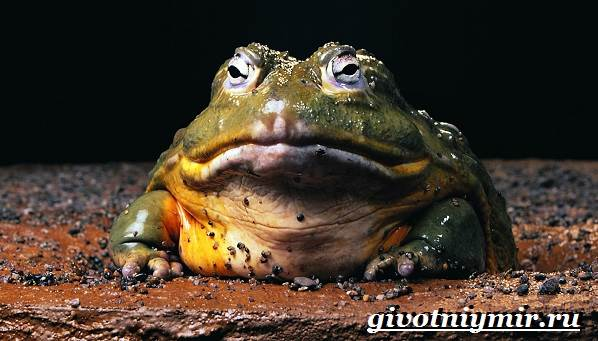 Голиаф-лягушка-Образ-жизни-и-среда-обитания-лягушки-голиаф-2