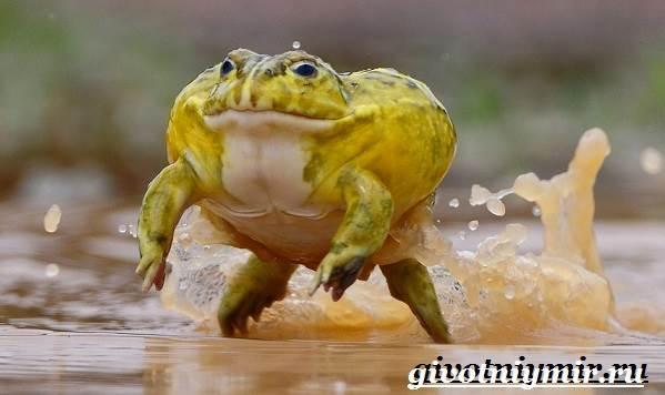 Голиаф-лягушка-Образ-жизни-и-среда-обитания-лягушки-голиаф-5