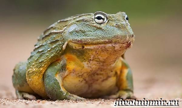 Голиаф-лягушка-Образ-жизни-и-среда-обитания-лягушки-голиаф-6