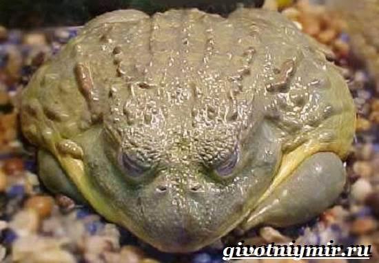 Голиаф-лягушка-Образ-жизни-и-среда-обитания-лягушки-голиаф-7