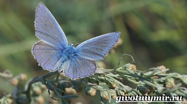Голубянка-бабочка-Образ-жизни-и-среда-обитания-бабочки-голубянки-1