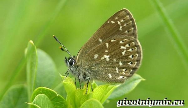 Голубянка-бабочка-Образ-жизни-и-среда-обитания-бабочки-голубянки-10