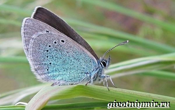 Голубянка-бабочка-Образ-жизни-и-среда-обитания-бабочки-голубянки-11