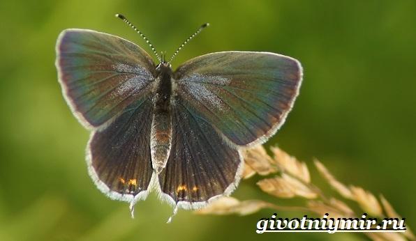 Голубянка-бабочка-Образ-жизни-и-среда-обитания-бабочки-голубянки-12