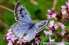 Голубянка бабочка. Образ жизни и среда обитания бабочки голубянки