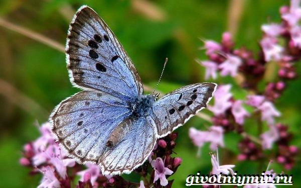 Голубянка-бабочка-Образ-жизни-и-среда-обитания-бабочки-голубянки-2