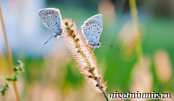 Голубянка-бабочка-Образ-жизни-и-среда-обитания-бабочки-голубянки-3
