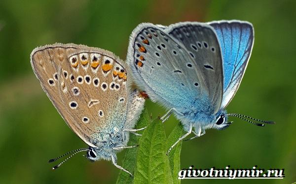 Голубянка-бабочка-Образ-жизни-и-среда-обитания-бабочки-голубянки-5