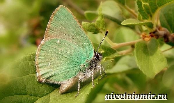Голубянка-бабочка-Образ-жизни-и-среда-обитания-бабочки-голубянки-6