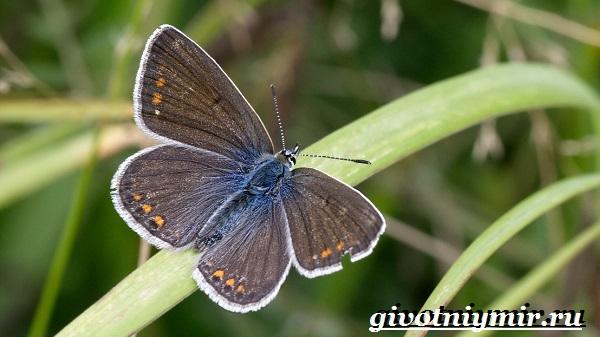 Голубянка-бабочка-Образ-жизни-и-среда-обитания-бабочки-голубянки-7