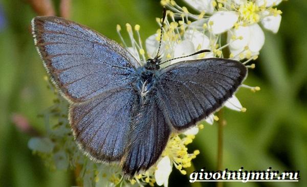Голубянка-бабочка-Образ-жизни-и-среда-обитания-бабочки-голубянки-8