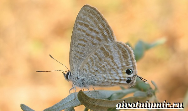 Голубянка-бабочка-Образ-жизни-и-среда-обитания-бабочки-голубянки-9