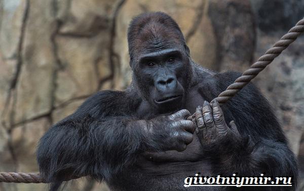 Горилла-обезьяна-Образ-жизни-и-среда-обитания-гориллы-1