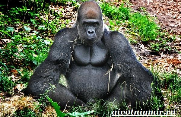 Горилла-обезьяна-Образ-жизни-и-среда-обитания-гориллы-2