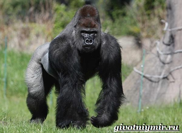 Горилла-обезьяна-Образ-жизни-и-среда-обитания-гориллы-3