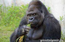 Горилла обезьяна. Образ жизни и среда обитания гориллы