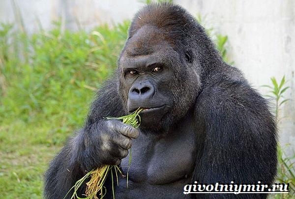 Горилла-обезьяна-Образ-жизни-и-среда-обитания-гориллы-4