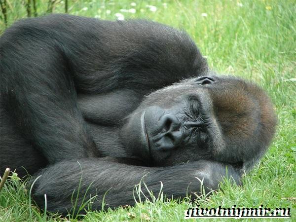 Горилла-обезьяна-Образ-жизни-и-среда-обитания-гориллы-5