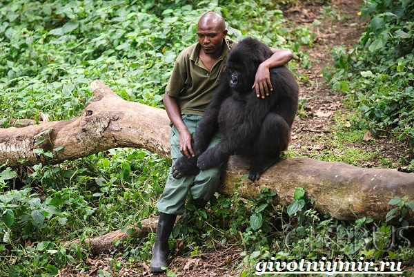 Горилла-обезьяна-Образ-жизни-и-среда-обитания-гориллы-6