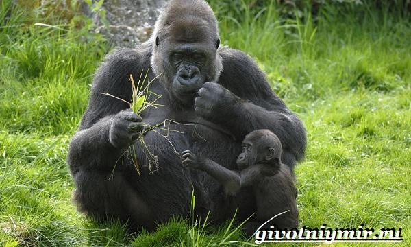 Горилла-обезьяна-Образ-жизни-и-среда-обитания-гориллы-7