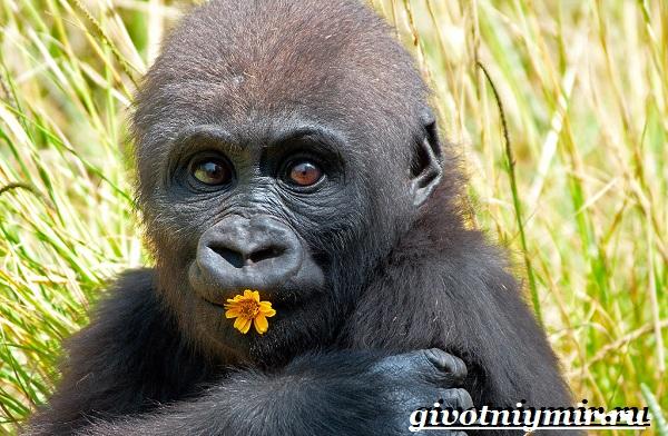 Горилла-обезьяна-Образ-жизни-и-среда-обитания-гориллы-8
