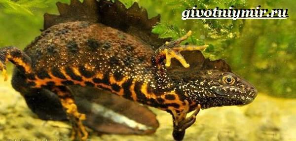 Гребенчатый-тритон-Образ-жизни-и-среда-обитания-гребенчатого-тритона-6