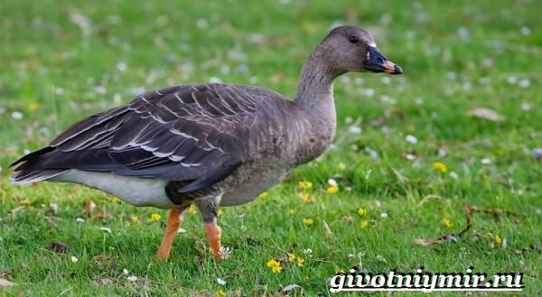 Гуменник-гусь-птица-Образ-жизни-и-среда-обитания-гуся-гуменника-1