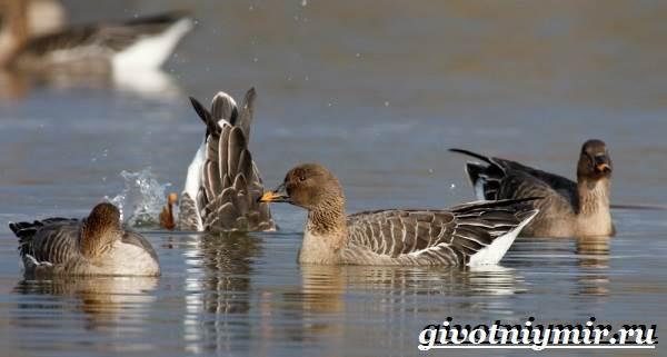 Гуменник-гусь-птица-Образ-жизни-и-среда-обитания-гуся-гуменника-11