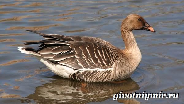Гуменник-гусь-птица-Образ-жизни-и-среда-обитания-гуся-гуменника-2