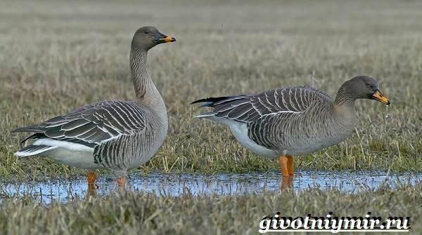 Гуменник-гусь-птица-Образ-жизни-и-среда-обитания-гуся-гуменника-3