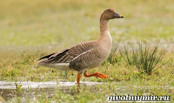 Гуменник-гусь-птица-Образ-жизни-и-среда-обитания-гуся-гуменника-4