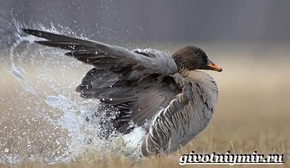 Гуменник-гусь-птица-Образ-жизни-и-среда-обитания-гуся-гуменника-5