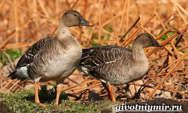 Гуменник-гусь-птица-Образ-жизни-и-среда-обитания-гуся-гуменника-6