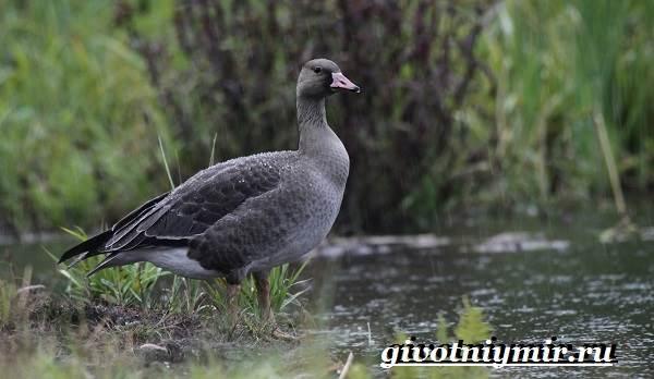 Гуменник-гусь-птица-Образ-жизни-и-среда-обитания-гуся-гуменника-7