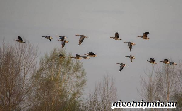 Гуменник-гусь-птица-Образ-жизни-и-среда-обитания-гуся-гуменника-8