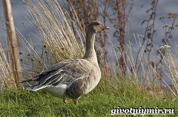 Гуменник-гусь-птица-Образ-жизни-и-среда-обитания-гуся-гуменника-9