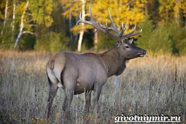 Изюбр-животное-Образ-жизни-и-среда-обитания-изюбра-1