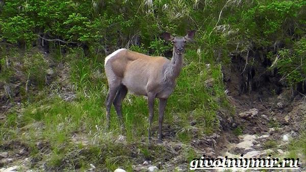 Изюбр-животное-Образ-жизни-и-среда-обитания-изюбра-10