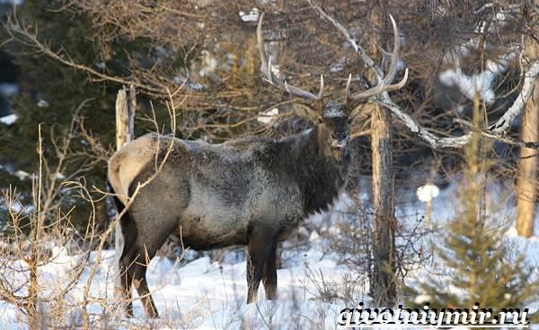 Изюбр-животное-Образ-жизни-и-среда-обитания-изюбра-5