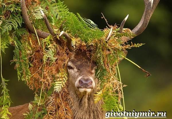 Изюбр-животное-Образ-жизни-и-среда-обитания-изюбра-9
