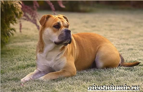 Ка-де-бо-порода-собак-Описание-уход-и-цена-породы-ка-де-бо-2